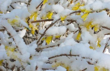 Forsythia Blooms in  Snow by Teri Leigh Teed