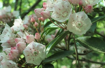 Pink and White Kalmia Garden by Teri Leigh Teed