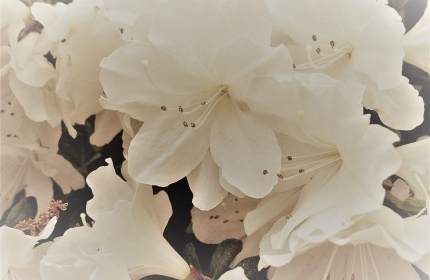 White Azaleas in Spring by Teri Leigh Teed