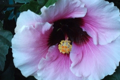 Hibiscus by Teri Leigh Teed