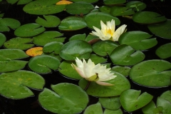 Lily Pads and Lotus by Teri Leigh Teed