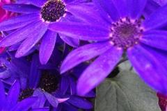 London Purple Fairy Flowers by Teri Leigh Teed