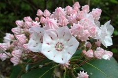 Mountain Laurel Blue Ridge Mountains by Teri Leigh Teed