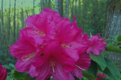 Pink Rhododendrons by Teri Leigh Teed