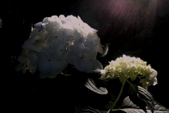 Hydrangeas-in-the-Light-by-Teri-Leigh-Teed-scaled