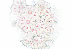White Mountain Laurel Flowers Kalmia Gardens drawing style by Teri Leigh Teed
