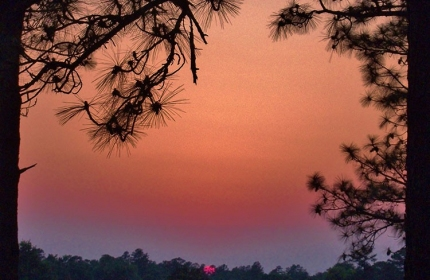 Among the Pines at Sunset by Teri Leigh Teed