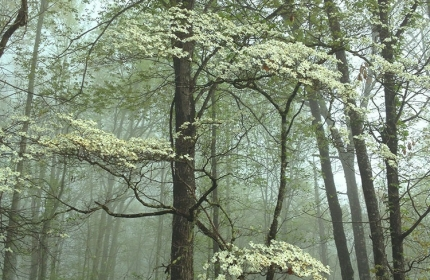 Dogwoods in Spring, Nantahala Forest by Teri Leigh Teed