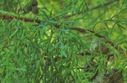 Trees-Juniper-Tree-by-Teri-Leigh-Teed-copy-1