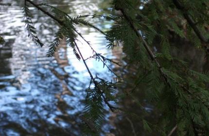 Through the Branches, Swan Lake