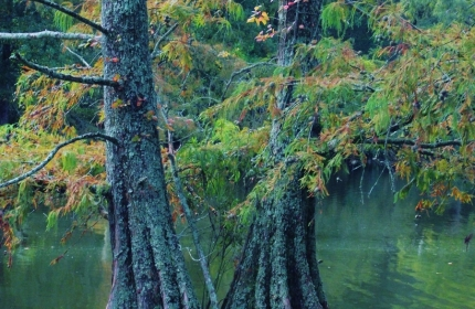 Twin Trees, Swan Lake, Sumter SC by Teri Leigh Teed