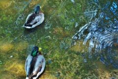 Two Ducks, Swan Lake, Sumter SC by Teri Leigh Teed