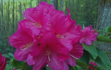 Flowers-Pink-Rhodendrons-by-Teri-Leigh-Teed-copy